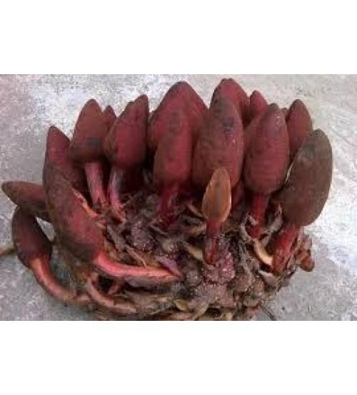Nấm ngọc cẩu