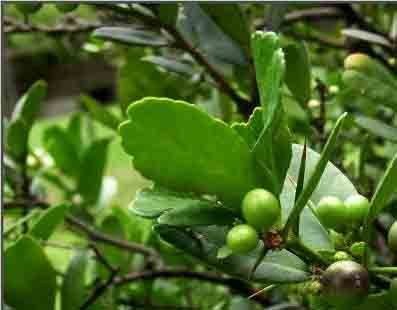 Địa chỉ bán cây quýt gai uy tín tại Hà Nội