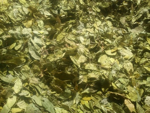 Bạn phơi lá trà tươi khoảng 3 nắng là có thể đem vào