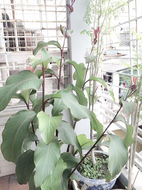 5 đặc điểm phân biệt cây dong riềng đỏ
