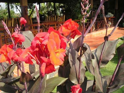 Cách nhận biết cây dong riềng đỏ qua hoa